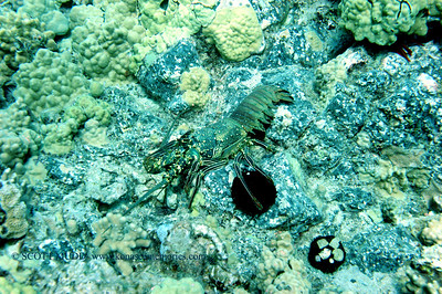 lobster shell (ロブスターの甲羅)