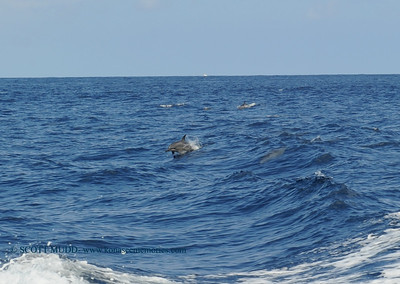 surfing dolphin (サーフィンをしているイルカ)