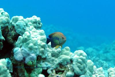potters angelfish (ポッターズエンジェルー)