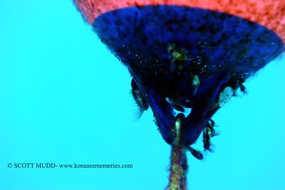 barnacle (エボシガイ)
