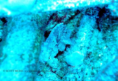 leaf scorpionfish (ハダカハオコゼ)