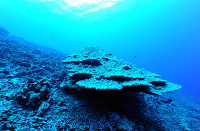 coral head [珊瑚)