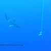 oceanic whitetip shark (ヨゴレザメ)