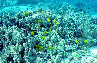 yellow tangs (キロハギ達)