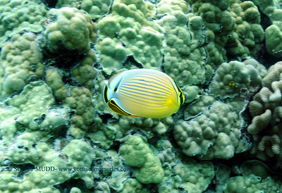 oval butterflyfish (ミスジチョウチョウウオ)