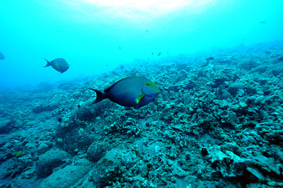 yellowfin surgeonfish(クロハギ)