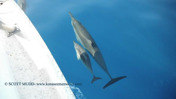 spinner dolphins(ハシナガイルカ)