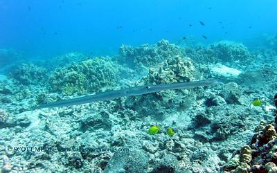 cornetfish (アオヤガラ)