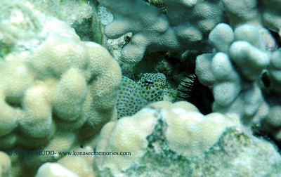 spotted coral blenny (セダカギンポ)