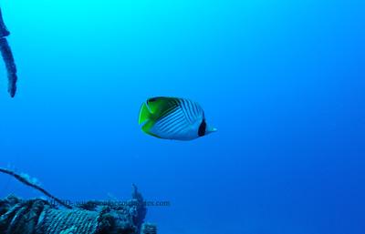 threadfin butterfly (トゲチョウチョウウオ)