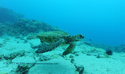 greensea turtle (アウウミカメ)