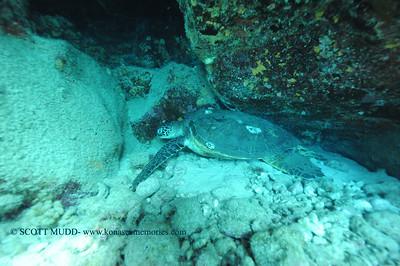 greensea turtle (アウウミガメ)