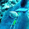miter shell(フデガイ)