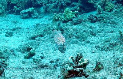 octopus (タコ)