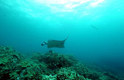 manta and great barracuda (マンタとオニカマス)