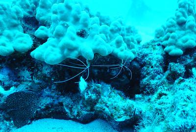 scarlet cleaner shrimp (アカシマシラヒゲエビ)
