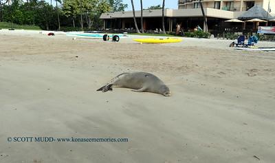 monk seal (ハワイアンモンクシール)