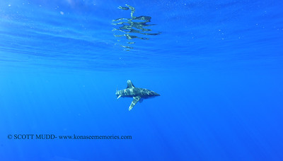 oceanic whitetip (ヨゴレザメ)
