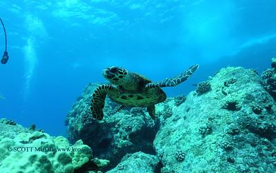 hawksbill turtle (タイマイガメ)