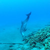 bottlenose dolphin (バンドイルカ)