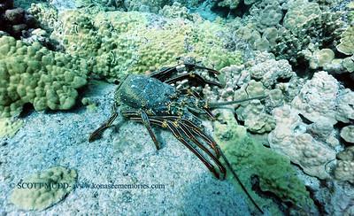lobster shell (ロブスターの甲ら)