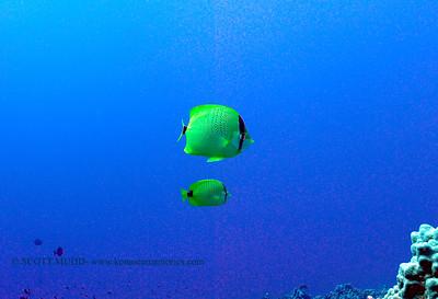milletseed butterflyfish (レモンチョウチョウウオ)