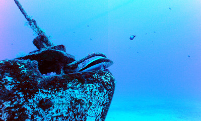 blackside hawkfish (ホシゴンベ)