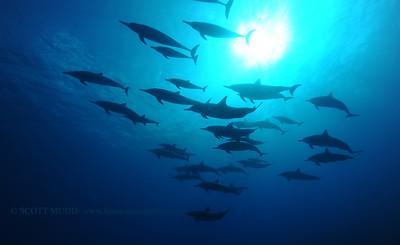 spinner dolphins (ハシナガイルカ)