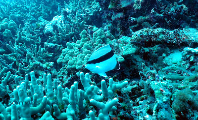 bandit angelfish (バンディットエンジェル)