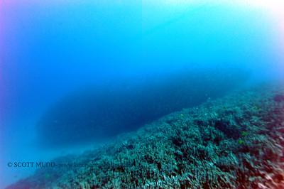 mackerel scad (メアジ)