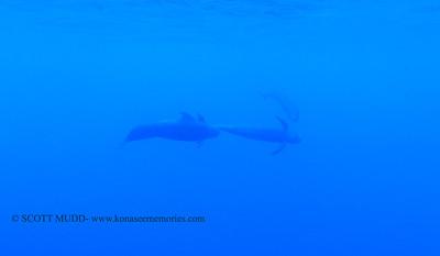 pilot whales (コビレゴンド)