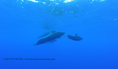 pilot whales (コビレゴンド)