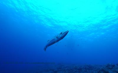 great barracuda (オニカマス)