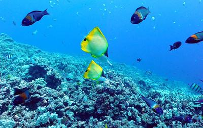longnose butterflyfish (オオフエヤッコダイ)