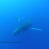 humpback whales (ザトウクジラ達)