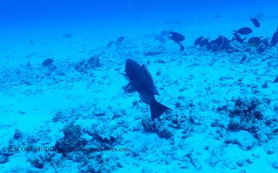 bullethead parrotfish (ハゲブダイ)
