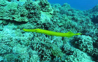 trumpetfish (ヘラヤガラ)