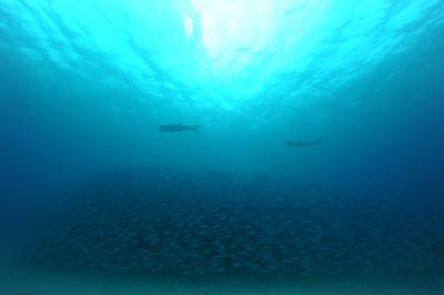 milkfish and bigeye scad (サバヒとメアジの群)
