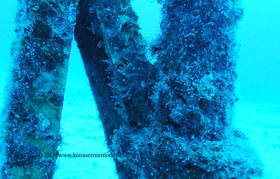 green lionfish (グリーンライオンフィッシュ)