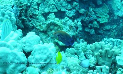 potters angelfish (ポッターズエンジェル)