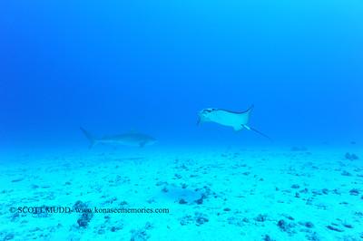 tiger shark and eagle ray (イタチザメとマダラトビエイ)