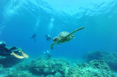 greensea  turtle (アオウミガメ)