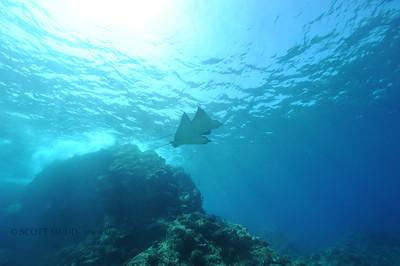 eagle rays (マダラトビエイ達)