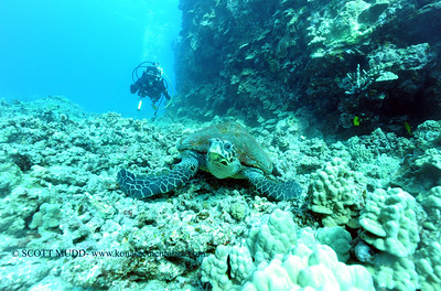divers and hawksbill turtle (ダイバー達とタイマイガメ)