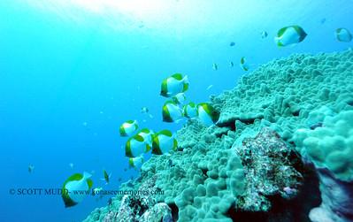 pyramid butterflyfish (カスミチョウチョウウオ)