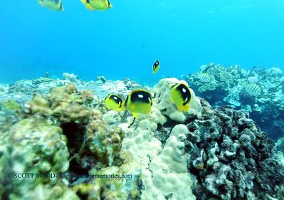 fourspot butterflyfish (シテンチョウチョウウオ)