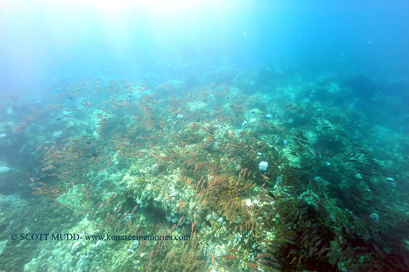 yellowfin goatfish (アカヒメジ)