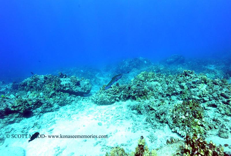 cornetfish turtleheaven 111615mon