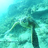 greenseaturtle turtleheaven 112115sat
