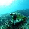 greenseaturtle turtleheaven5 112115sat